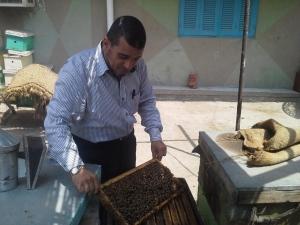 الدكتور صبحى قاسم اثناء فحص طوائف النحل
